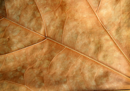 teak: Dry brown leaf texture teak leaf Stock Photo