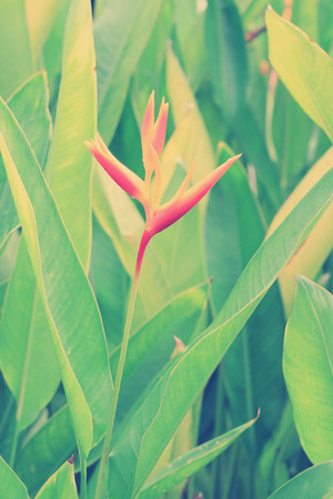 heliconiaceae: Heliconia flower or Heliconia spp with blurred vintage tone background, with vignetted corners
