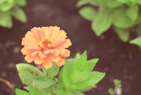 vignetted: Zinnia flower  with blurred vintage tone background, with vignetted corners