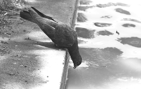 bw: Pigeon looking for food, bw mode Stock Photo