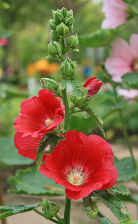 sharon: An orchid-red-color Rose of Sharon flower blooms in the garden Stock Photo