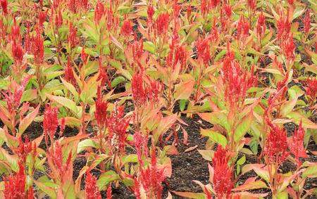 graden: Red Celosia argentea in the graden