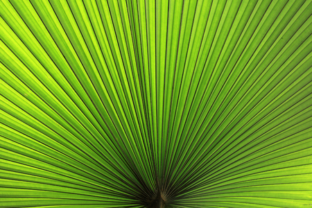 foliage frond: Texture of Green palm Leaf