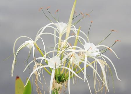 spider lily: Amaryllidaceae, Spider Lily (Hymenocallis speciosa)