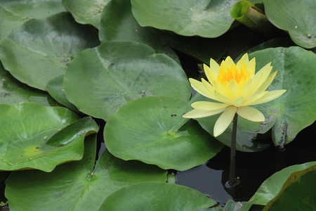 monet: This beautiful waterlily or lotus flower