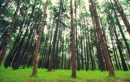 irradiation: Vintage Style,Pine branches in the sky, closeup of photo Stock Photo