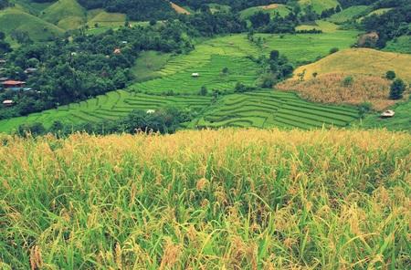 arroz: campos de maíz y verde campo de arroz en Pa Pong Pieng, Mae Chaem, Chiang Mai, Tailandia. Modo de la vendimia