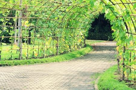luffa: Tree tunnel of Angled Luffa plant (Luffa acutangula)