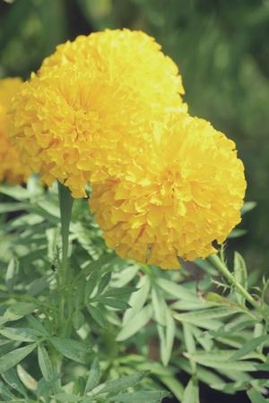 tagetes: Tagetes erecta L. or Marigold in garden, Vintage filter