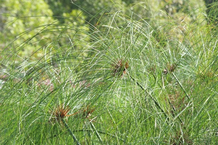 bullrush: papyrus bushes standing together