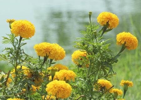 tagetes: Tagetes erecta L. or Marigold in garden, Vintage filter, Soft focus Stock Photo