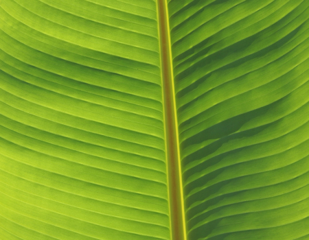 banana leaves: Banana leaves