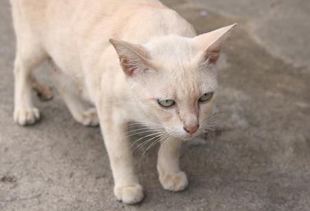 purring: Cat