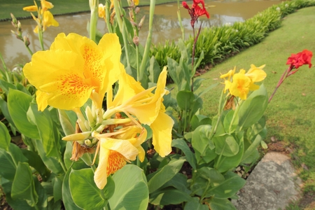 colic: Indian Canna (Canna indica L.) in the garden