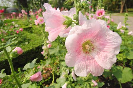 sharon: An orchid-pink-color Rose of Sharon flower blooms in the garden