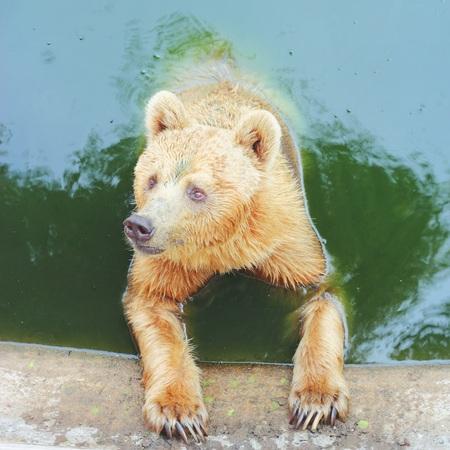 wet bear: bear in water , Thailand