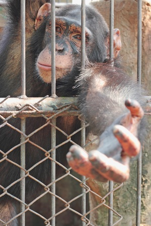 chimpances: Los chimpanc�s esperar por la comida, Tailandia Foto de archivo