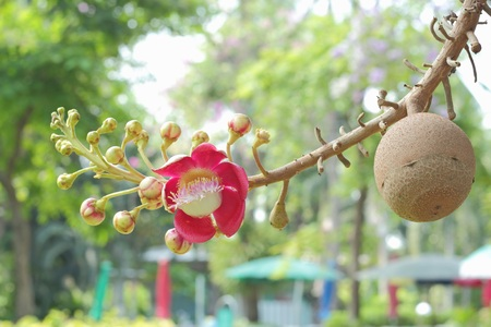 cannonball: Cannonball flower of Cannonball Tree or Sal Tree