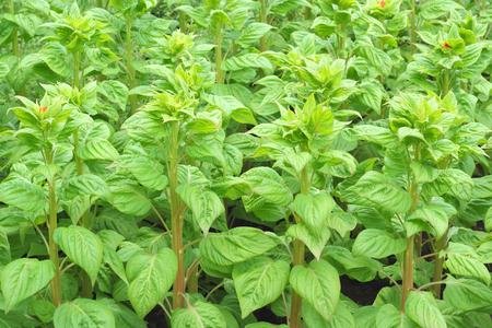 Close up of Celosia Cristata or Cockscomb plant Stock Photo