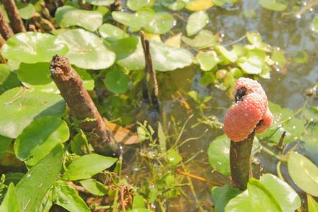 apple snail: eggs of golden apple snail