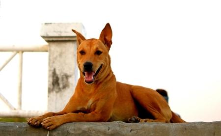 ridgeback: Thai Ridgeback Dog in Happy Emotion
