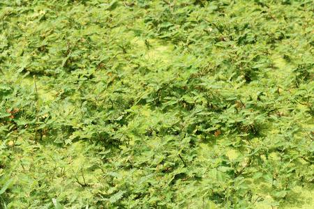 sensitive: water mimosa, water sensitive plant.