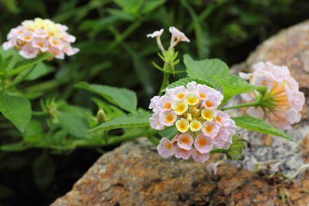 lantana camara: colorful Lantana camara flowers