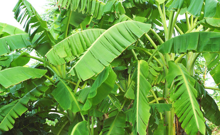 Banana leaves. banana tree on white background