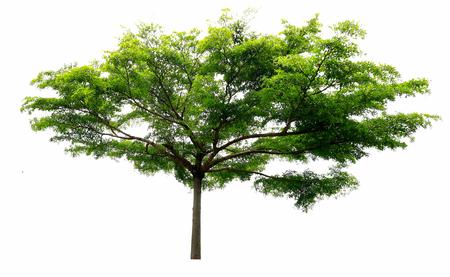 Árbol aislado en el fondo blanco