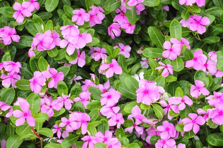 madagascar: Madagascar periwinkle, Madagascar periwinkle, Catharanthus roseus, Vinca flower