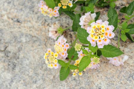 lantana: colorful Lantana camara flowers