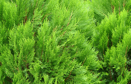 jhy: pine leaves of nature , pine texture background Stock Photo