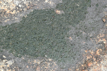 green algae: green algae on stone