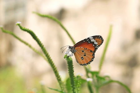 Monarch butterfly (Danaus plexippus) on a flower in the daytime. Stock Photo