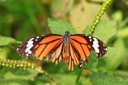 plexippus: Monarch butterfly (Danaus plexippus) on a flower in the daytime. Stock Photo