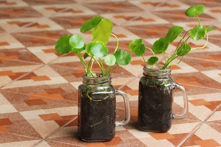 Asiatic Pennywort in glass jar