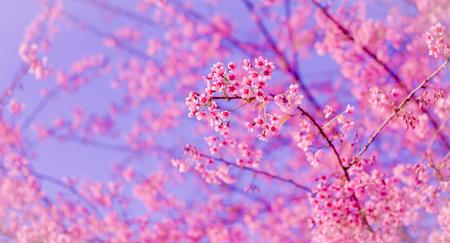 arbol de pascua: Wild Himalayan cherry blooming (Prunus cerasoides) Foto de archivo