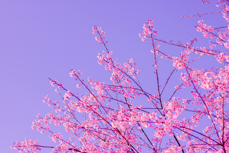 Wild Himalayan cherry blooming (Prunus cerasoides) Stock Photo
