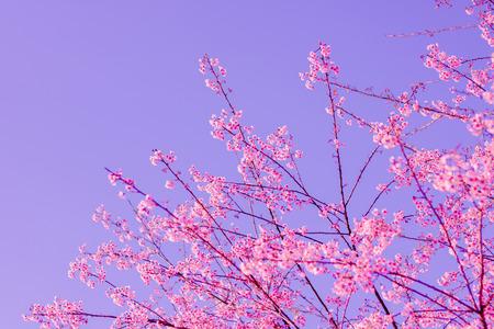 Wilde Himalaya-Kirschblüte (Prunus cerasoides) Standard-Bild