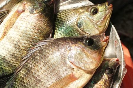 raw nile tilapia fish in sunlight Stock Photo