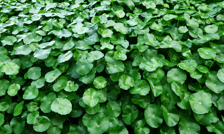 green color of Water Pennywort. Stock Photo