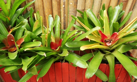 Group of red bromeliads in the nursery Stock Photo