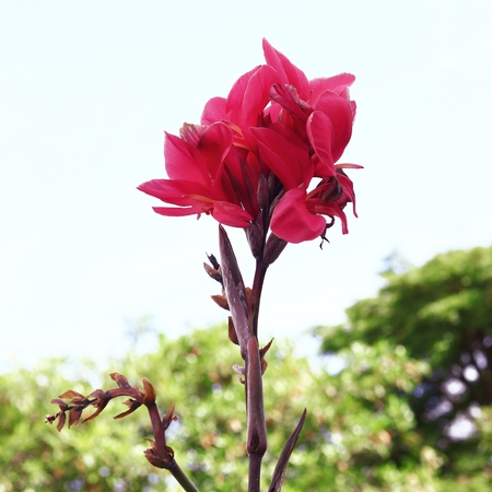 Indian shot, Canna in Thailand