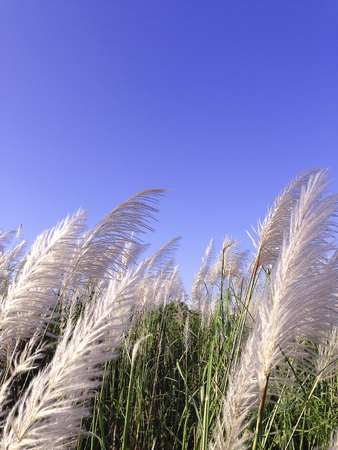 Pampas grass with blue sky  photo