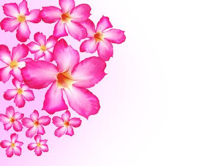 adenium: Pink adenium flowers isolate Stock Photo