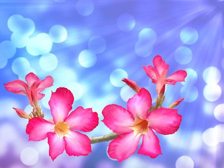 adenium: Pink adenium flowers abstract background