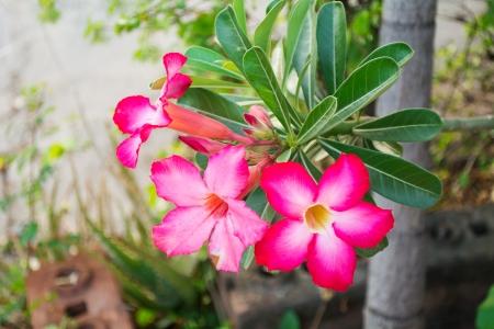 adenium obesum: Red Desert Flower, adenium obesum
