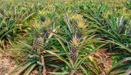 Pineapple fruit on the bush Stock fotó - 26005121