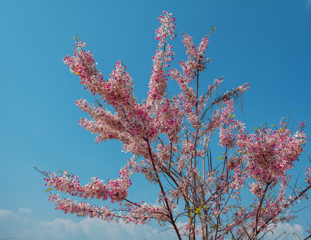 drumstick tree: Cassia Grandis Flowers on Blue Sky