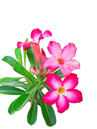 Pink adenium flowers Isolate on white background photo